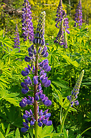 Lupines growing on Kendall Inlet Road<br />