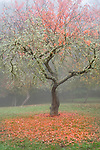 Vashon, Washington: Fruit orchard in fog, late fall. Froggsong garden