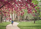 Apr. 25, 2016; Flowering trees on Mod Quad. (Photo by Matt Cashore/University of Notre Dame)