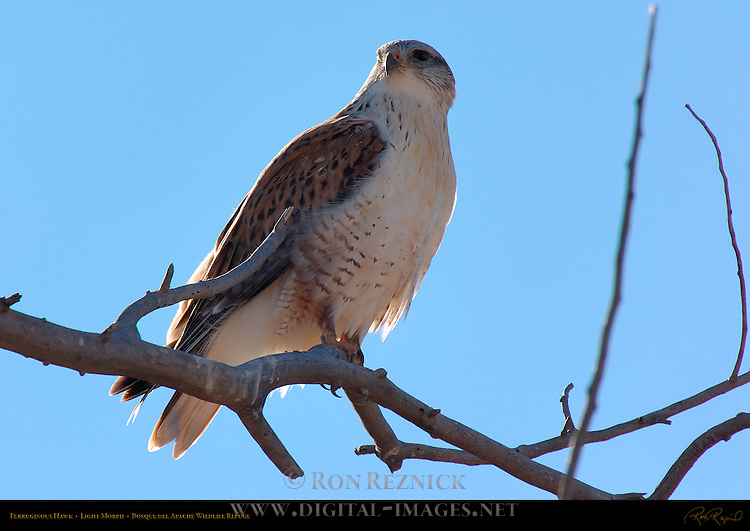 Ferruginous Hawk, Light Morph, Royal Hawk, Bosque del Apache Wildlife Refuge, New Mexico