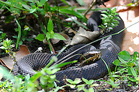 Large Black Snake photographed at Arthur Marshall Loxahatchee Preserve Cypress Swamp, Boynton Beach, Florida.