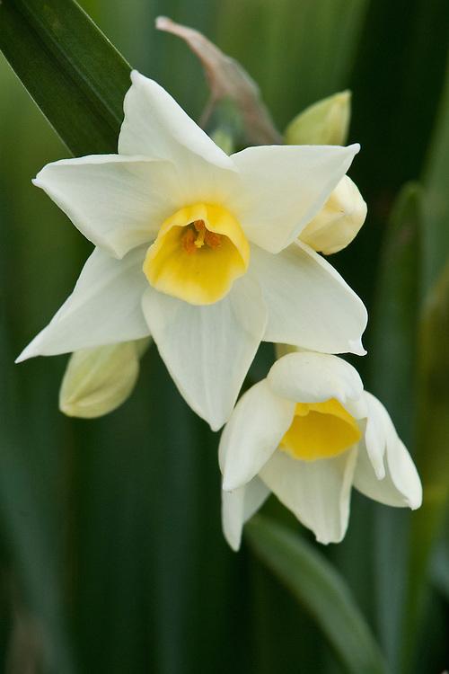 Daffodil (Narcissus 'Grand Primo Citronaire'), a multi-headed Division 8 Tazetta variety, mid February.