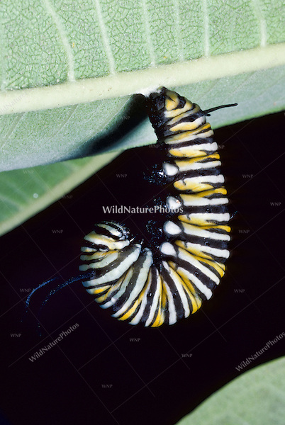 Metamorphosis of a Monarch Butterfly Caterpillar (Danaus plexippus), from larvae to chrysalis to adult, on Common Milkweed. (Series, Ohio)