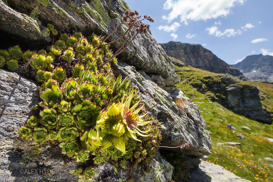 Houseleek {Sempervivum grandiflorum}.Aosta Valley, Monte Rosa Massif, Pennine Alps, Italy. July.
