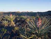 Trecul Yucca, Spanish Dagger, Yucca treculeana, blooming, Dagger flats, Big Bend National Park,Texas, USA