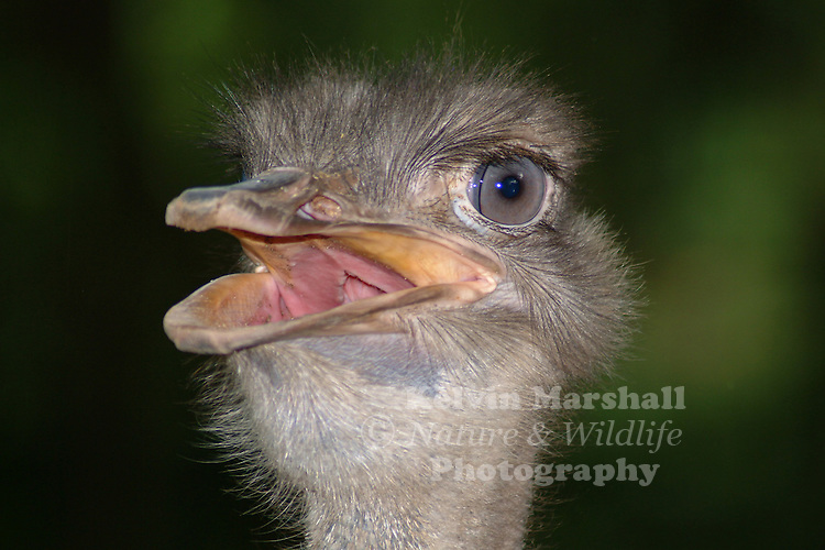 Ostrich, (Struthio camelus), is a large flightless bird native to Africa. It is the only living species of its family, Struthionidae and its genus, Struthio. Ostriches share the order Struthioniformes with the kiwis, emus, and other ratites. It is distinctive in its appearance, with a long neck and legs and the ability to run at maximum speeds of about 70 km/h (45 mph), the top land speed of any bird. The Ostrich is the largest living species of bird and lays the largest egg of any living bird (extinct elephant birds of Madagascar and the giant moa of New Zealand laid larger eggs).