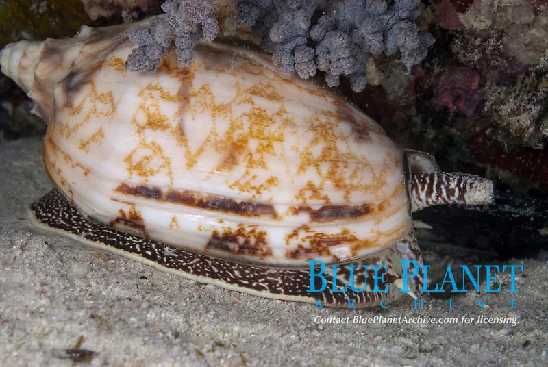 Geographic Cone Shell, Conus geographus, night dive, Paradise II dive site, Sipadan Water Village House Reef, Mabul Island, near Sipadan Island, Sabah, Malaysia, Celebes Sea
