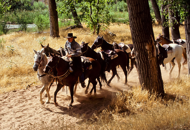 Cowboy riding a herd of horses in Zion National Park, Utah, USA