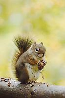 Red Squirrel, Pine Squirrel, Tamiasciurus hudsonicus, adult eating pine cone, Jenny Lake, Grand Teton NP,Wyoming, USA