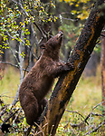Subadult cinnamon black bear feeding on hawthorn berries. Grand Teton National Park, Wyoming.
