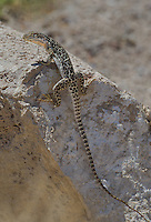 437880010 a wild long-nosed leopard lizard gambelia wislizenii sits on a rock along fish slough road in mono county california