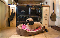 BNPS.co.uk (01202 558833)<br /> Pic: TomWren/BNPS<br /> <br /> Barry's favourite spot by the Aga.<br /> <br /> Baaa-king mad?<br /> <br /> It's a dogs life for 'Barry the lamb' - The precious Valais Blacknose lamb is being hand reared by owner Emma Childs after being rejected by his mother.<br /> <br /> Emma took Barry the lamb into her home last month so she could bottle-feed him round the clock after his mum rejected him as a newborn.<br /> <br /> Barry, now four weeks old, is a valuable rare Valais Blacknose, a breed that was only introduced to the UK from the Swiss Alps in 2014.