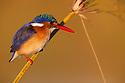 Botswana, Moremi Game Reserve, Okavango Delta, Malachite kingfisher (Alcedo cristata)