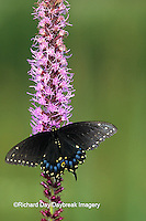 03009-00418 Black Swallowtail, female (Papilio polyxenes) on Prairie Blazing Star (Liatris sp)   IL