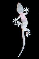 """Europäischer Halbfinger, Unterseite, Fuß, Zehen mit geteilten Haftlamellen, Haftlamelle, Haftscheibe, Haftscheiben, Lamellen reichen nicht bis an die Zehenspitzen, Gecko, Halbfinger-Gecko, Türkischer Halbfingergecko, """"Hausgecko"""", Hemidactylus turcicus, Turkish gecko, Mediterranean gecko, Mediterranean House Gecko, common house gecko, Gecko nocturne, Hémidactyle verruqueux"""
