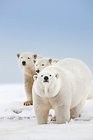 Polar bear sow and cubs show curiosity on a snow covered island in the Beaufort Sea on Alaska's arctic coast.