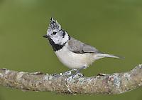 Crested Tit - Parus cristatus