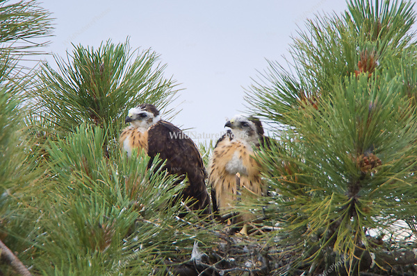 Two Short-tailed Hawk (Buteo brachyurus) chicks, satiated after feeding, with full crops;  Arizona (Nesting Record)