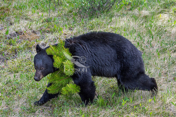 Black Bear (Ursus americanus) being aggressive by walking over a small pine tree.  Northern Rockies, Spring.