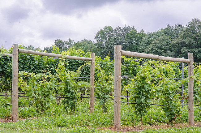 "Vine ""Infrastructure"" is show with the wood log supports and trellising at a vineyard in New York's Finger Lakes Region, Yates County, New York"