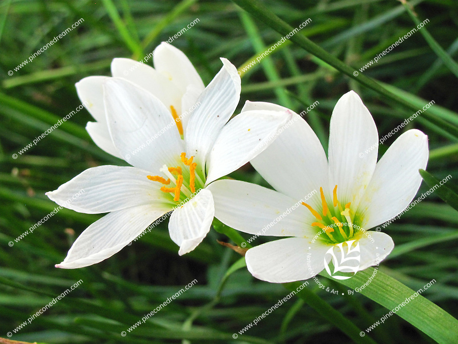 Stock photo of Easter Lily flowers in the farm. | pineconedream