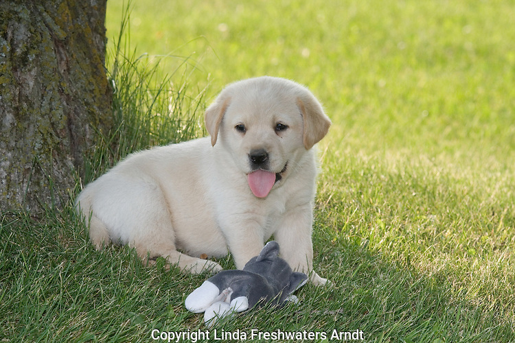 Yellow Labrador retriever (AKC) lying in the shade of a tree