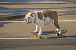English Bulldog skateboarding in parking lot.