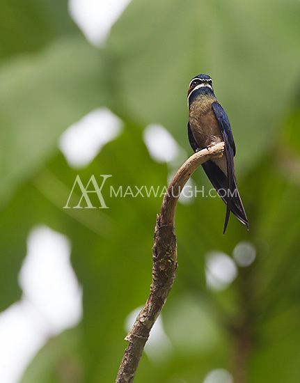 "The whiskered tree swift, which my guide nicknamed the ""little ninja."""