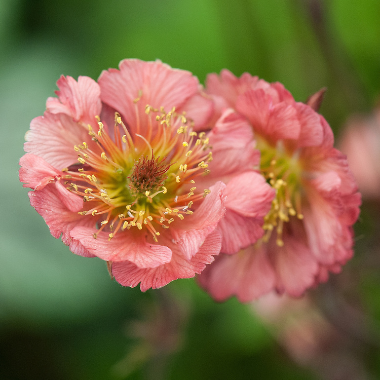 Geum 'Bell Bank', late May.