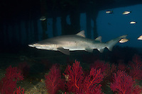 TP0430-Dr. Sand Tiger Shark (Carcharias taurus) swimming inside the shipwreck of the Aeolus, a 409-foot long tanker sunk on purpose in 1988 to create an artificial reef. Colorful gorgonians grow between the shadowy decks, a favorite place for the sharks to aggregate. This shark also known as Gray Nurse Shark and Ragged-tooth shark. Previously classified as Eugomphodus taurus and Odontaspis taurus. North Carolina, USA, Atlantic Ocean.<br /> Photo Copyright &copy; Brandon Cole. All rights reserved worldwide.  www.brandoncole.com