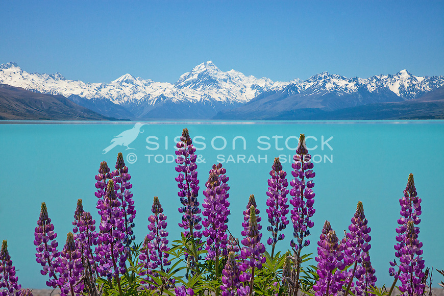 Purple Russel lupines on the edge of Lake Pukaki looking up to Aoraki / Mt Cook, Canterbury, New Zealand.