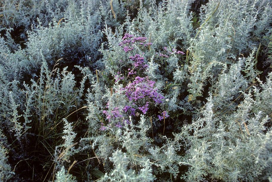 Lamsoor (Limonium vulgare) en Zeealsem ( Seriphidium maritimum)