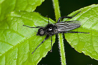Märzfliege, Märzmücke, Haarmücke, Männchen, Bibio marci, Märzhaarmücke, Markusfliege, Markushaarmücke, St. Mark's fly, Haarmücken, Bibionidae, march flies, St.Mark's flies