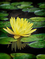 Yellow water lily in pond with reflection. Eugene, Oregon