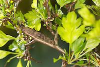 Weißdorneule, Raupe frisst an Weißdorn, Weissdorneule, Weißdorn-Eule, Weissdorn-Eule, Allophyes oxyacanthae, Green-brindled Crescent, caterpillar, la Noctuelle de l'aubépine