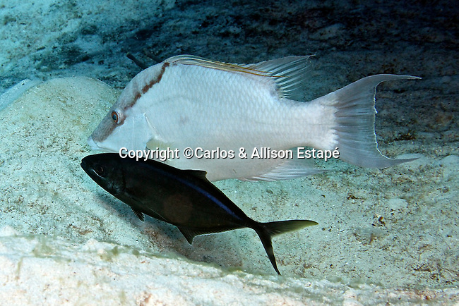 Carangoides ruber, Bar jack, Grand Cayman