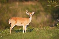 White-tailed Deer (Odocoileus virginianus), buck in velvet, Sinton, Corpus Christi, Coastal Bend, Texas, USA