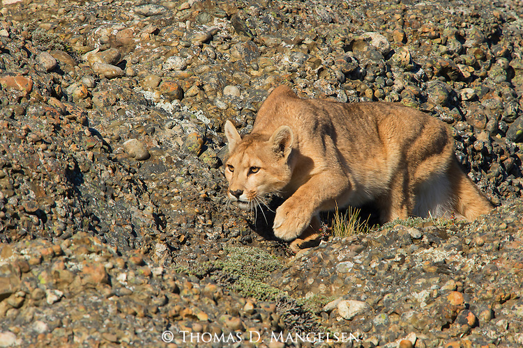 A Puma stalks its prey against a rocky ridge in Patagonia, Chile.