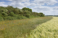 Field margin in a Barley field <br /> ©Tim Scrivener Photographer 07850 303986<br />      ....Covering Agriculture In The UK....