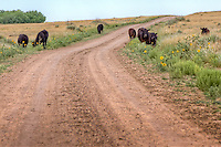 Cattle grazing on the Cimarron National Grassland in western Kansas.