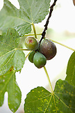 USA, California, Sonoma, a mature fig tree by the Sonoma bike path bears fruit