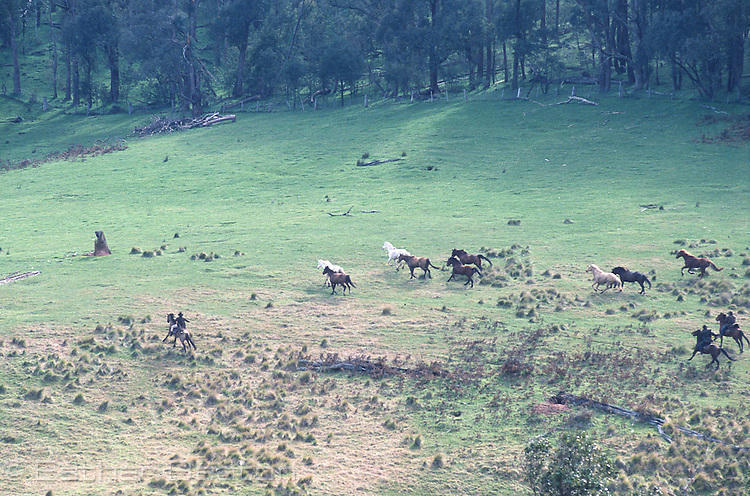"Stockmen chasing horses across a ""high country"" meadow. Mt Buller, Snowy Mountains, Victoira"