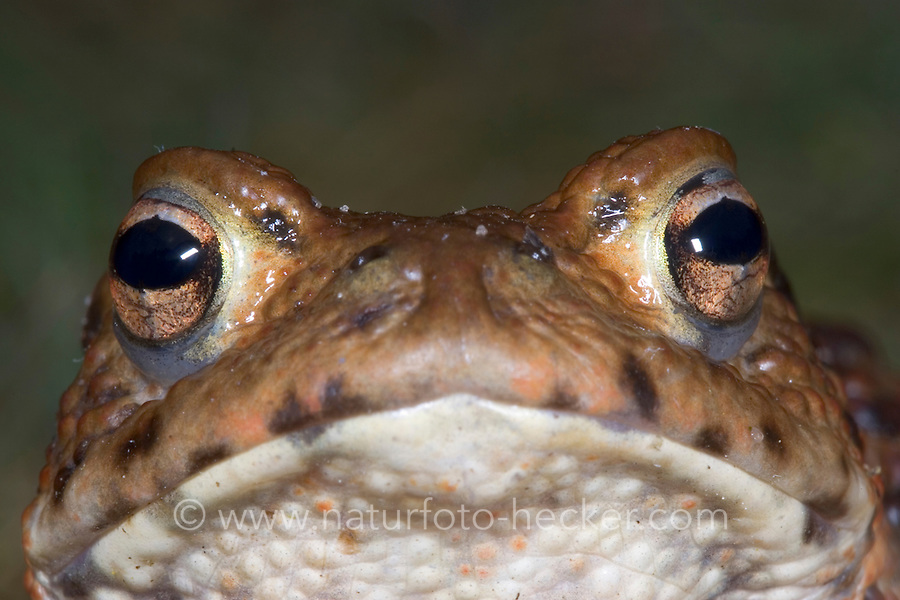 Erdkröte, Portrait, Porträt, Auge, Augen, Erd-Kröte, Kröte, Bufo bufo, European common toad