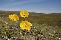 Arctic Poppy - Papaver radicatum