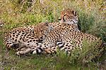 Cheetahs, Serengeti National Park, Tanzania