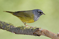MacGillivray's Warbler - Oporornis tolmiei - male