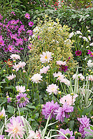 Variety of Dahlias in late summer garden