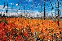 Autumn foliage in regeneration after burn <br /> Smith<br /> Alberta<br /> Canada