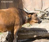 0619-1103  African Forest Buffalo (Congo Buffalo), Syncerus caffer nanus  © David Kuhn/Dwight Kuhn Photography