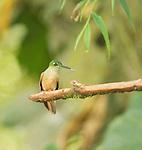 Female fawn-breasted brilliant hummingbird, Heliodoxa rubinoides, perched on a branch at Refugio Paz de las Aves, Ecuador